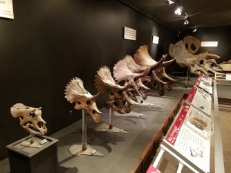 the Triceratops skulls