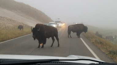 some bison on the road